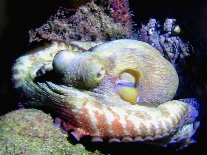 Species – Cuttles, Octopus & Squid