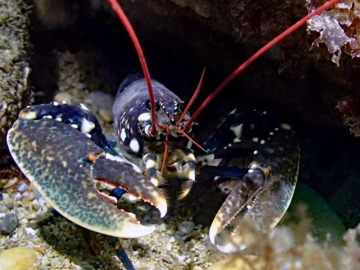 Species – Crabs & Lobsters