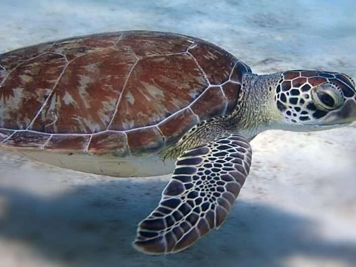 Species – Turtles