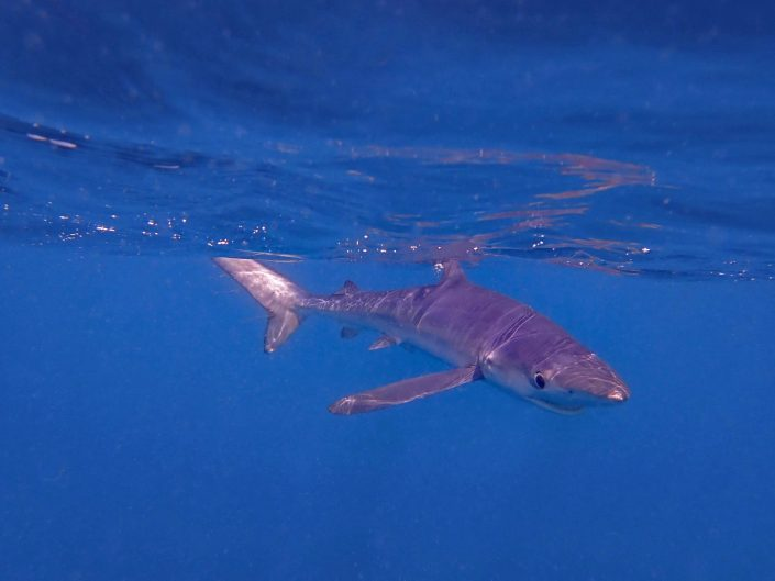 Species – Sharks & Rays